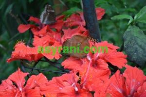 022 rama-rama daun